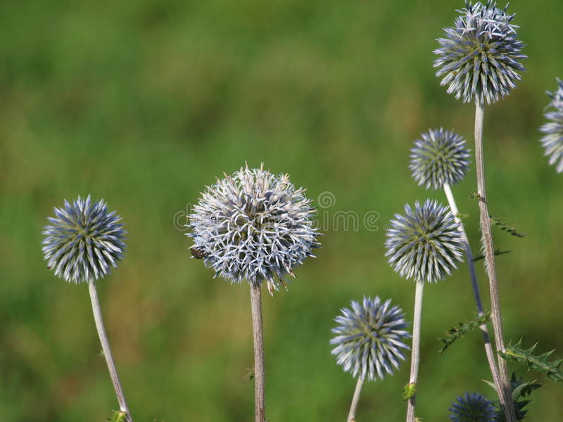 Round withered flowers. South Bohemia stock photo