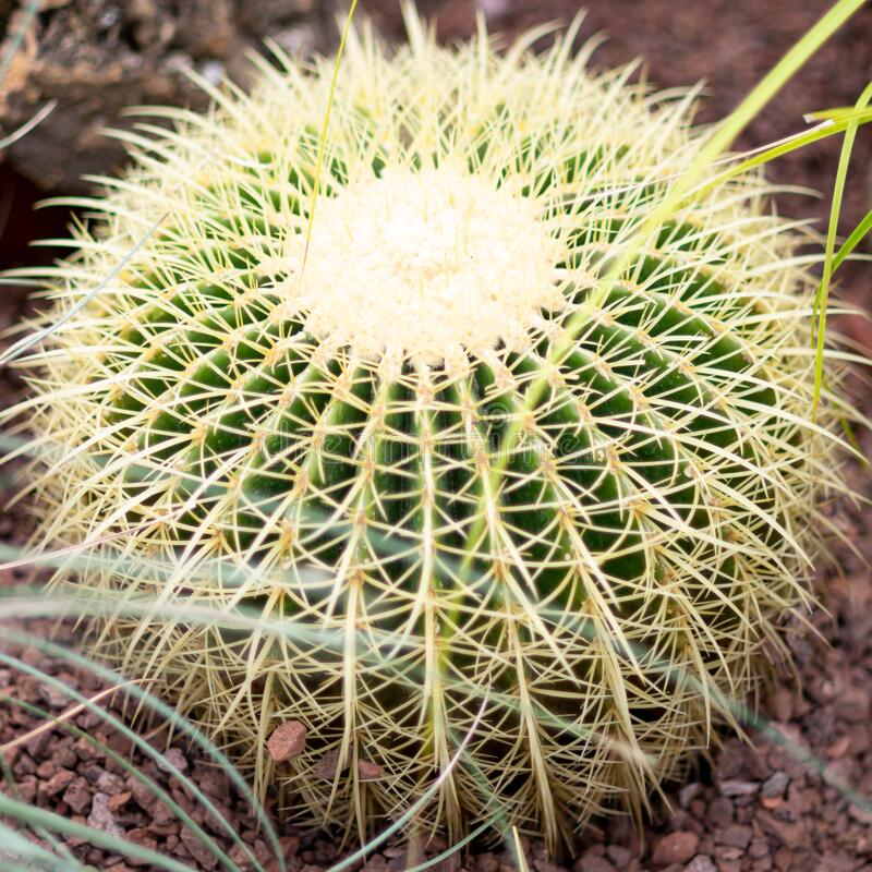 Rounded cactus isolated in the close up with grass.  royalty free stock photos