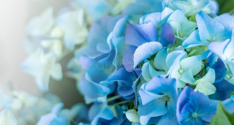 Rounded clusters of Hydrangea Macrophylla Altona blue flowers. Background of colorful in blur concept.  stock photos