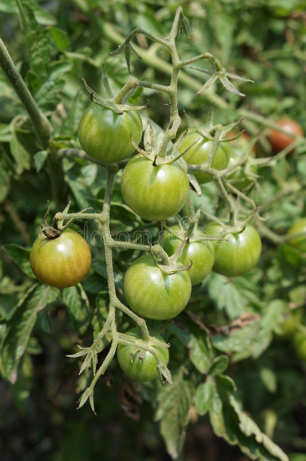 Rounded and green cherry small fruited tomato on the vine royalty free stock photos