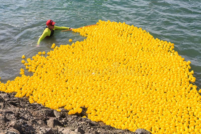 Rounding up thousands of rubber ducks after a harbor race royalty free stock photography