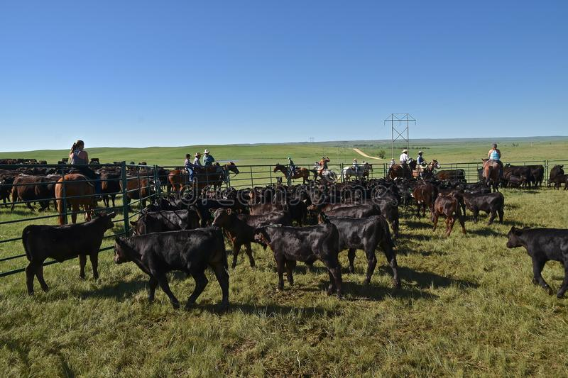 Roundup of angus calves. MUD BUTTE, SOUTH DAKOTA, May 23, 2018: The annual roundup and branding of cattle brings the area cowboys and cowgirl in the process on stock image