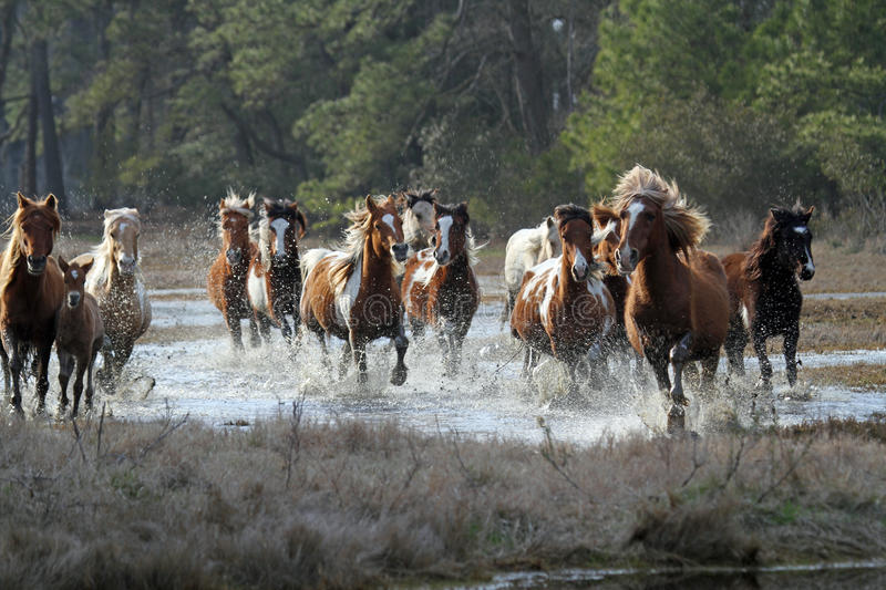 The Roundup. Chincoteague Ponies in Chincoteague National Wildlife Refuge during the annual fall roundup stock photo