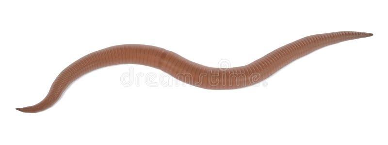 roundworm royaltyfri illustrationer