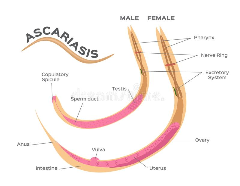 Roundworms παράσιτα ascariasis/αρσενικός και θηλυκός infographic γραφικός σκουληκιών ελεύθερη απεικόνιση δικαιώματος