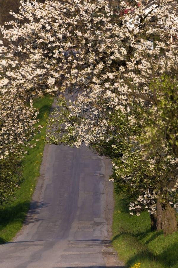 Route avec l'allée des pommiers en fleur photographie stock