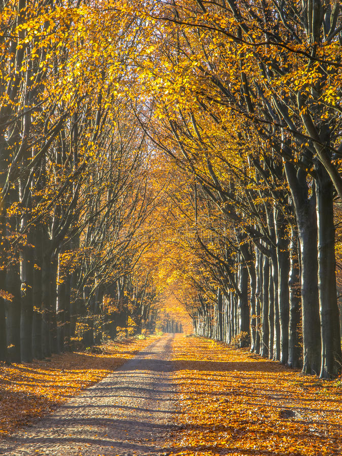 Route avec le feuillage jaune des arbres de bouleau pendant l'automne images stock
