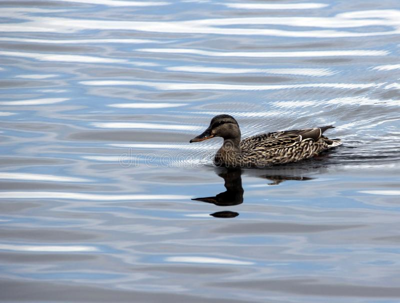 Female Mallard Duck looking for perfect nesting spot. On route bay , Lake-of-the-woods Kenora Ontario,this female is seaching for the safest place to raiser her royalty free stock photography