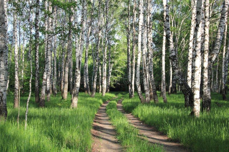 Route dans une plantation de bouleau photographie stock libre de droits