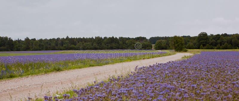 Route de champ, gisements de fleur bleus photo stock
