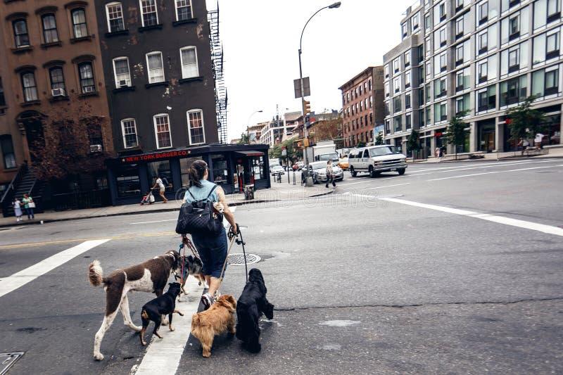 Route de croisement de femme avec des chiens photographie stock
