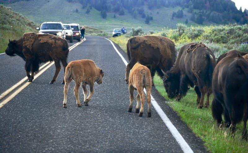 Route de croisement de troupeau de bison photo stock