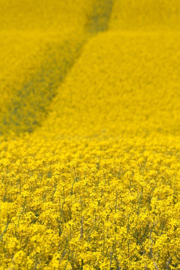 Route de graine de colza, gisements de canola photographie stock