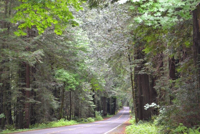 Route par les séquoias image stock