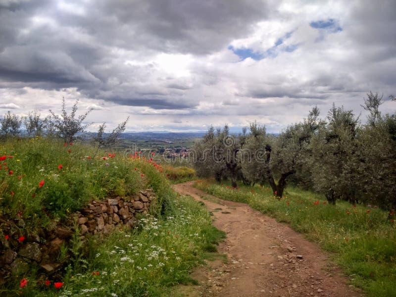 Route rocheuse dans les yards olives avec des pavots dans le domaine et un ciel nuageux photos stock