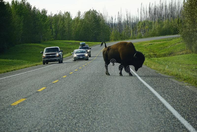 Route sauvage de croisement de bison américain dans le Yukon photo stock