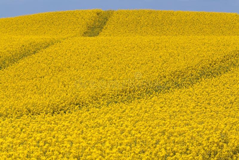 Routes de gisement de graine de colza photographie stock libre de droits