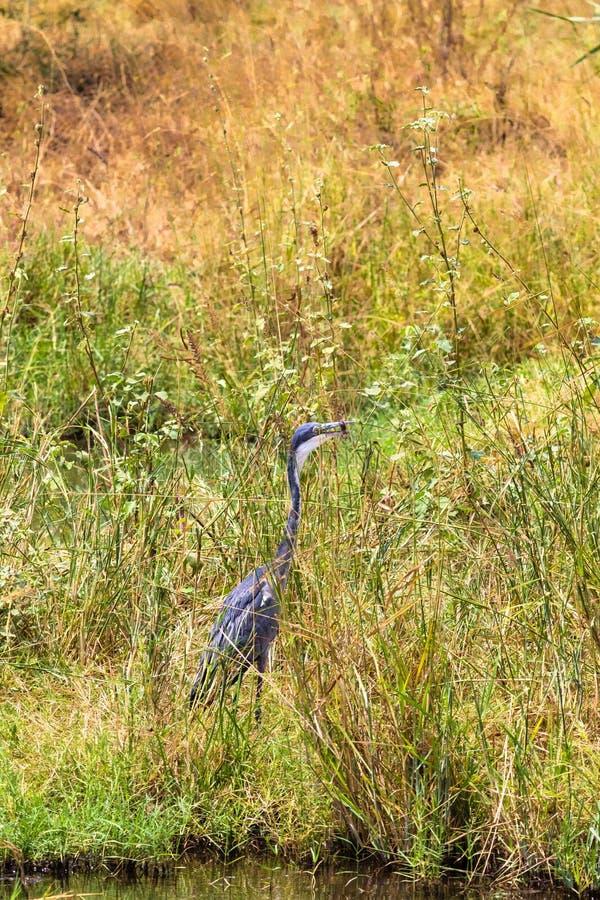 Rov för häger för stora blått väntande på Meru parkerar, Kenya arkivfoton
