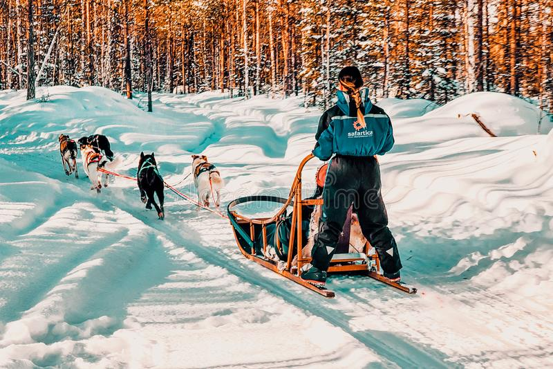 Rovaniemi Finland - mars 5, 2017: Kvinna på Husky Dogs Sled i Rovaniemi i Finland av Lapland på jul Dogsled som en hörntand arkivbilder