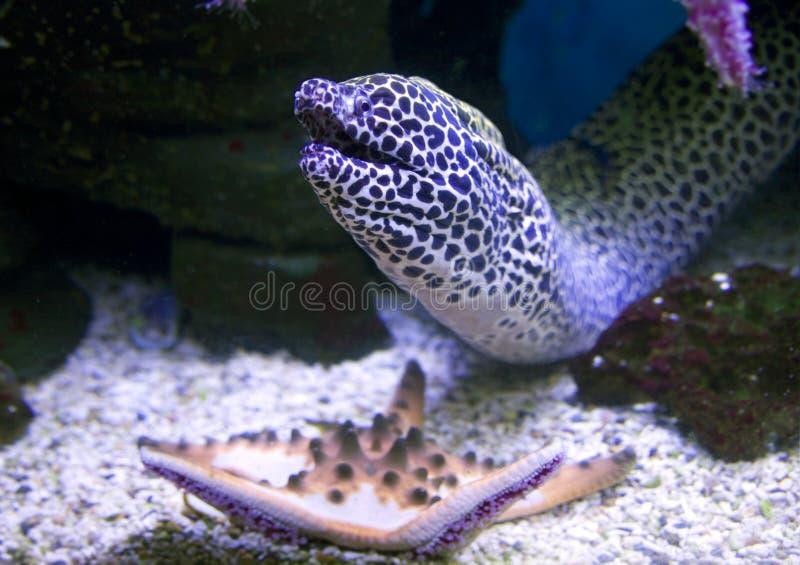 Rovdjur för ål för rever för korall för vändkretsar för Morayingreppsfisk prickig royaltyfri foto