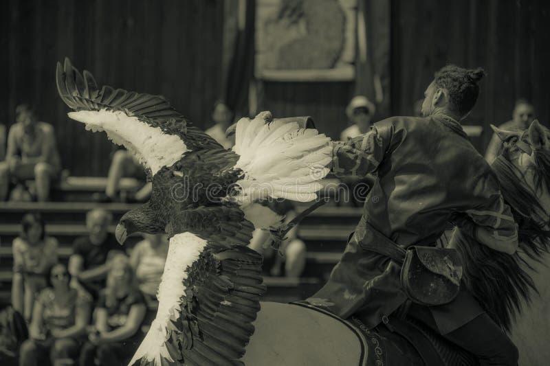 rovgirig vit-tailed örn i sommar på zoo i närbildshow och hennes instruktör arkivfoton