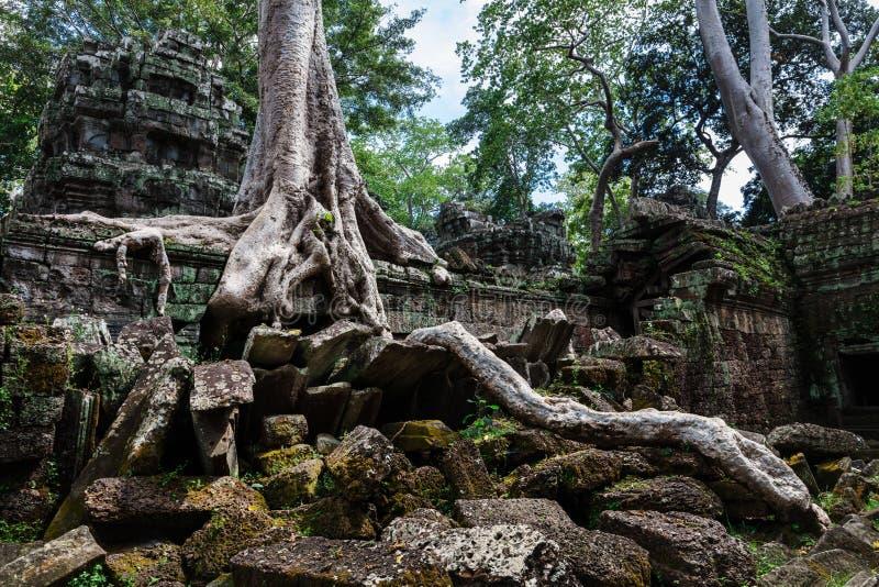 rovine del tempio dei tum Prohm con l'albero gigante fotografia stock