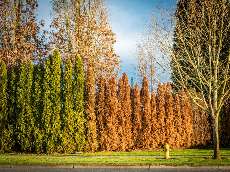 Row of arborvitae with half of them orange and dieing and a fire hydrant in the late fall afternoon. Row of arborvitae half of them orange and dieing and a fire stock image