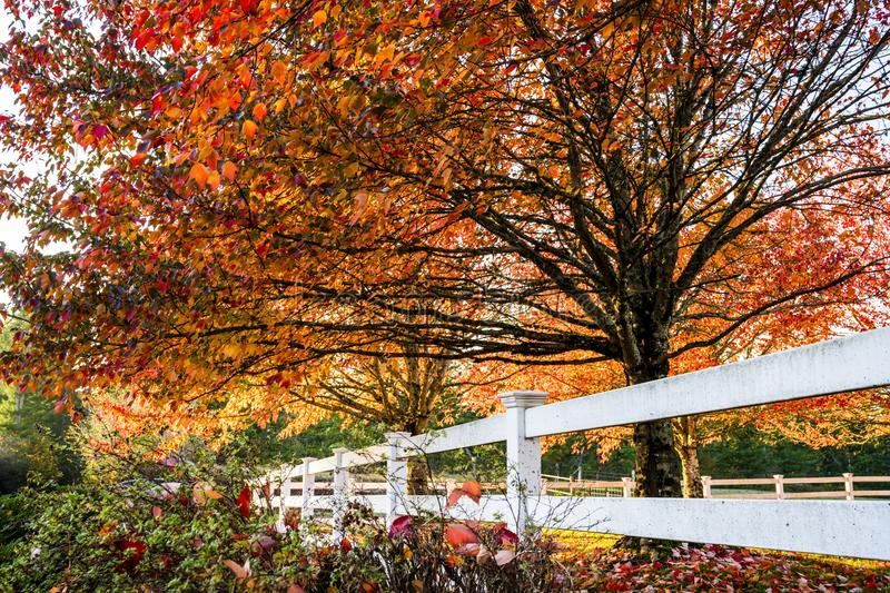 Row of autumn red maples with falling leaves on lawn behind wood. Maples with leaves painted red in autumn as a symbol of a past life, coming to a close of days royalty free stock photo