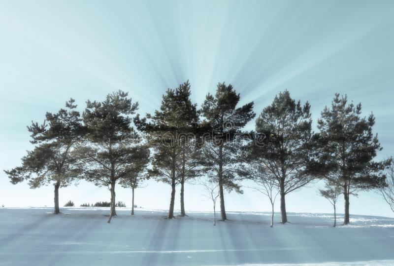 Row of backlit trees in Winter royalty free stock image