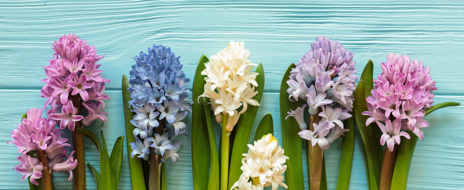 Row of beautiful flowers of hyacinth in delicate shades of pink, blue, white, violet colors on the blue wooden background royalty free stock photos