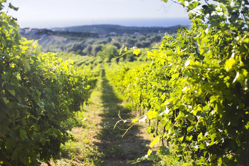 Row of beautiful grape yard before sunset with mountain stock images