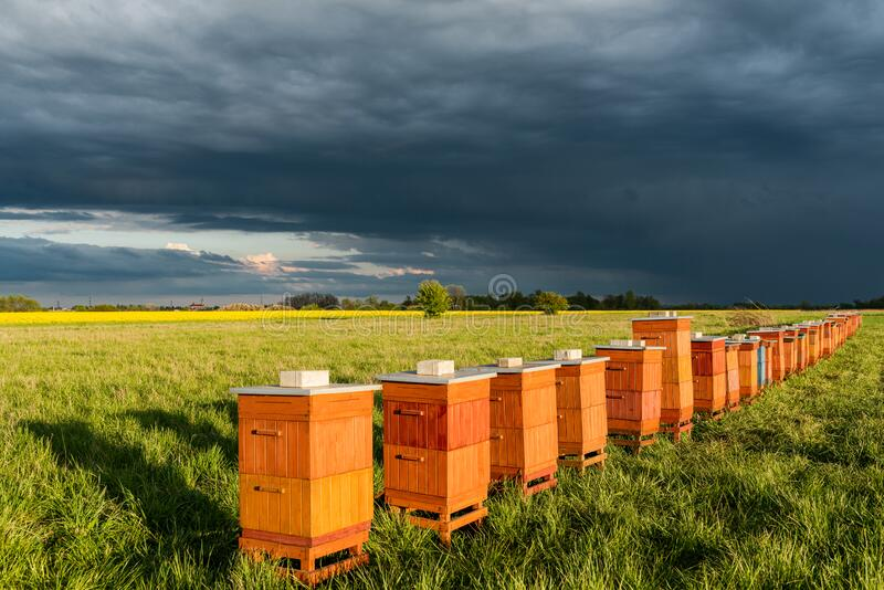 Row of Beehives Outdoor near Rapeseed or Canola Plantation. Beekeeping and Honey Productiom stock images