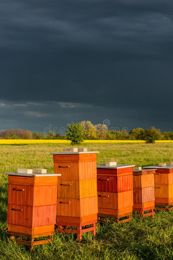 Row of Beehives Outdoor near Rapeseed or Canola Plantation. Beekeeping and Honey Productiom royalty free stock image
