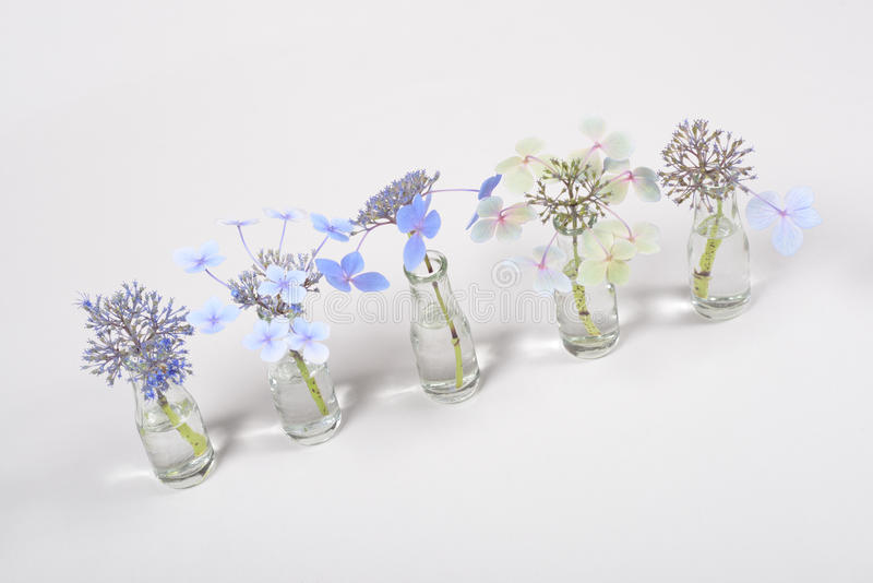 Row of blue flowers in glass jars, cycle from bloom to wither on white background stock images