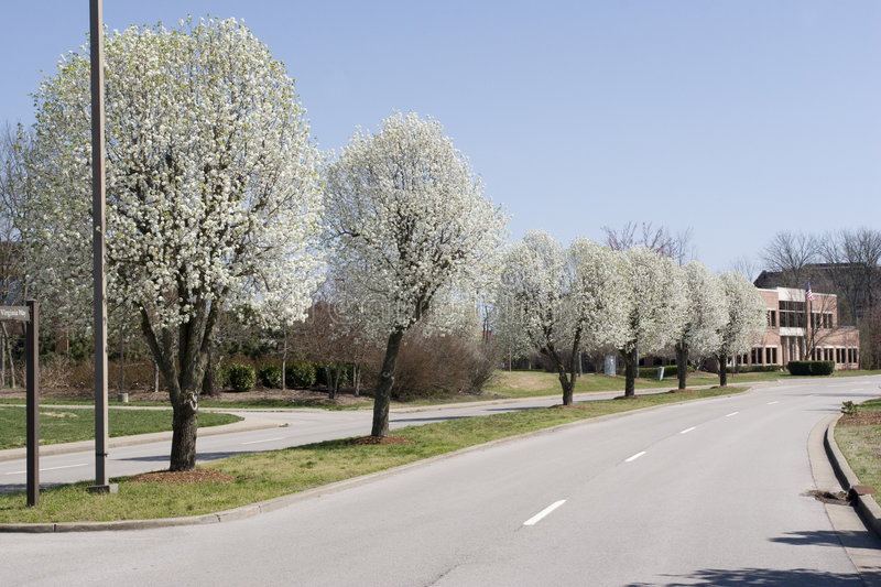 Row of Bradford Pear Trees in Spring stock image
