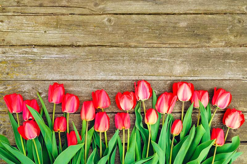 Row of bright rich red tulip flowers on stem. Wooden background with scopy text space. Welcome spring and summer. Mother`s Day ba royalty free stock images