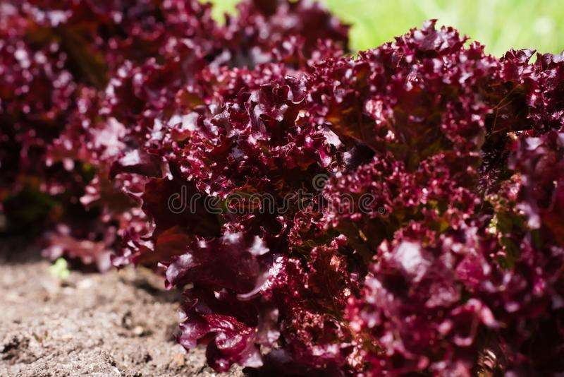 Row of bushes of red leaf lettuce in the summer garden stock images