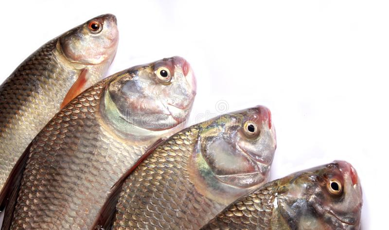 A row of carp fishes on a white background. stock photos