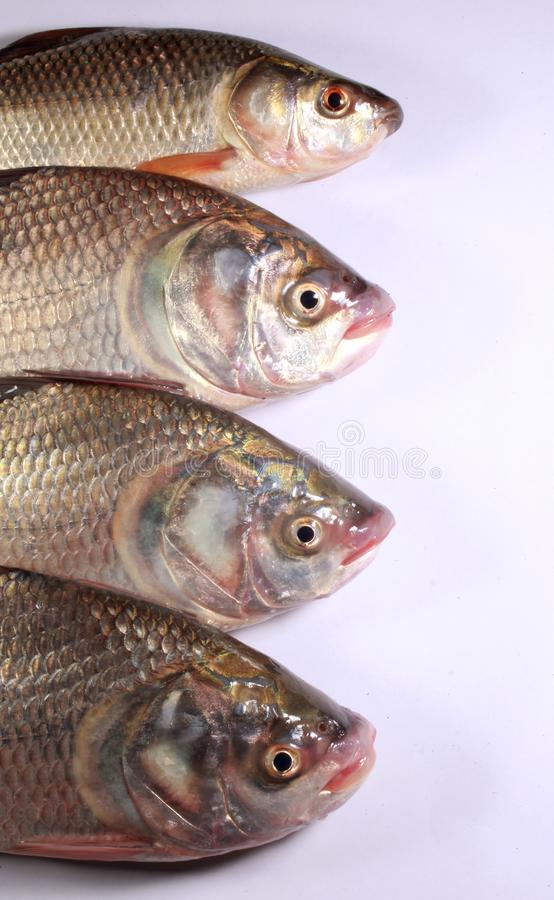 A row of carp fishes on a white background. stock photo