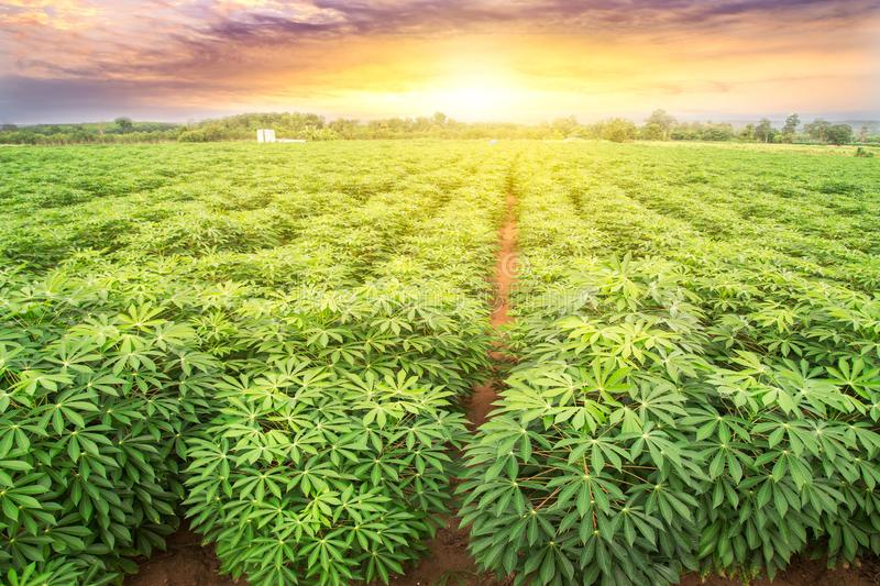 Row of cassava tree in field. Growing cassava, young shoots growing. The cassava is the tropical food plant,it is a cash crop in royalty free stock photography