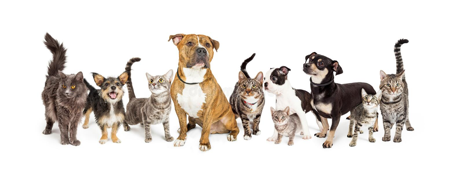 Row of Cats and Dogs Together on White. Row of different size and breeds of cats and dogs together, isolated on a white social media or web banner royalty free stock image
