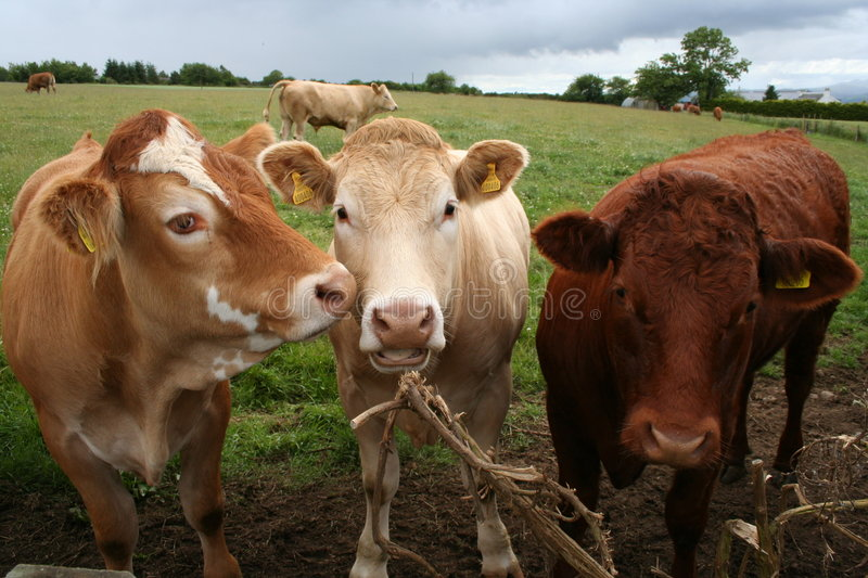 Row of cattle in field stock image
