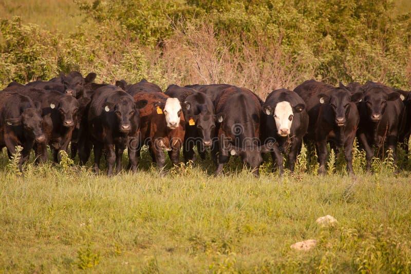 Row of Cattle stock photos