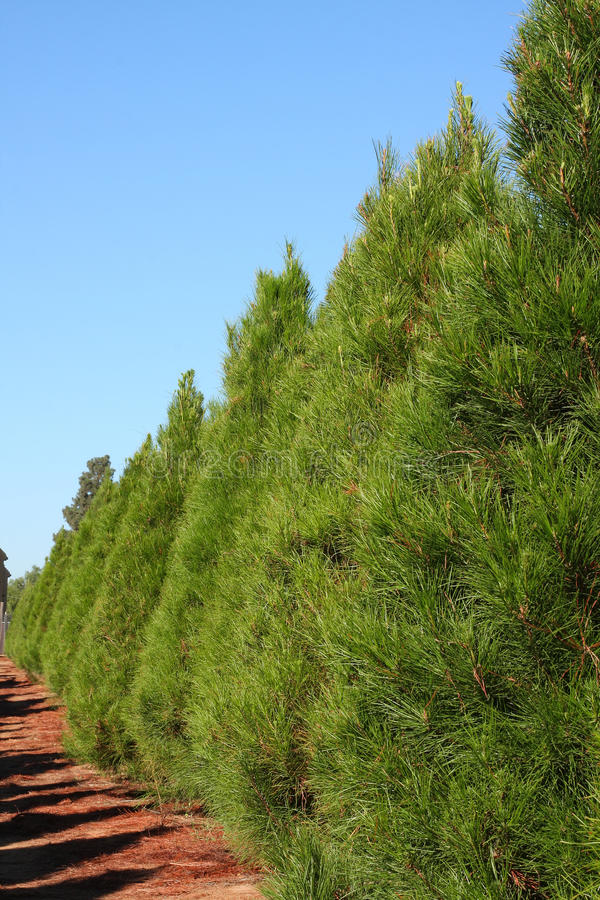 Row of Christmas pine trees - vertical