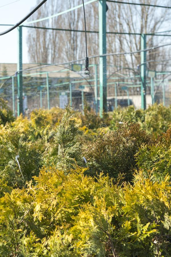 Row of coniferous trees in greenhouse. plants outside a nursery for sale in spring. Nursery for plants. vertical photo.  stock photos