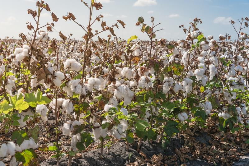 Row of cotton fields ready for harvesting in South Texas, USA. Close-up cotton bud stem on fields ready for harvesting in Corpus Christi, Texas, USA. Agriculture royalty free stock photography