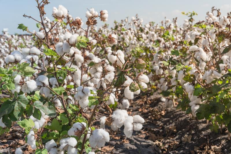 Row of cotton fields ready for harvesting in South Texas, USA. Close-up cotton bud stem on fields ready for harvesting in Corpus Christi, Texas, USA. Agriculture stock image