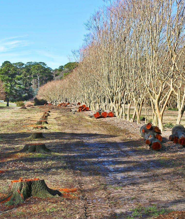 Row of Cut Down Cedar Wood Trees. An empty grove where cedar trees once stood stock image