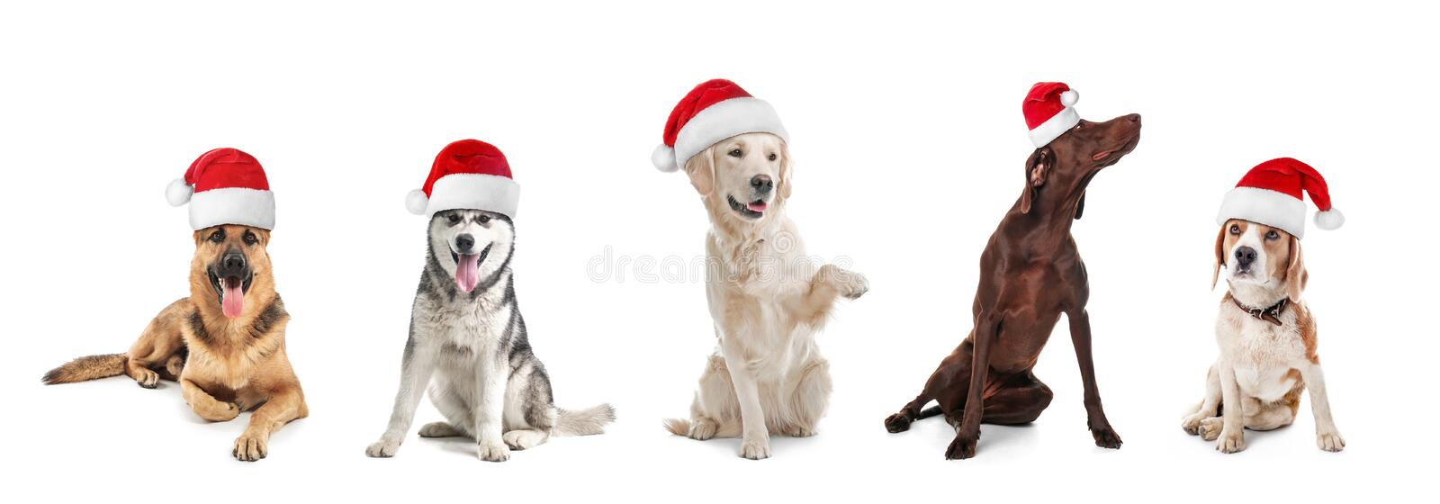 Row of cute dogs with Santa Claus hats stock photography