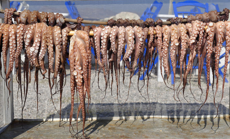 Row of drying octopus royalty free stock image